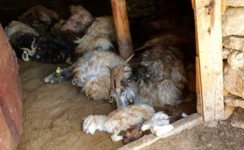 Hakkari'de ayının saldırdığı ahırdaki 50 küçükbaş telef oldu